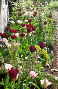 Tulips Angelique, Black Jewel and Green Wave at Ulting Wick garden