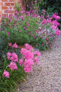 Nerines and Salvia Icing Sugar by path at Ulting Wick garden