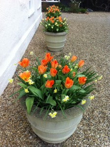 April 2010. Tulip Oranger Emperor and Narcissus Minnow in pots outside the house