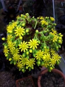 Aeonium zwartkop at Ulting Wick garden